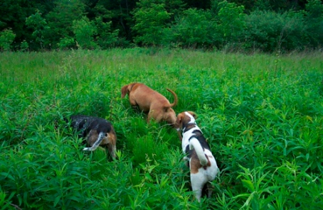 Dogs-in-Field-s
