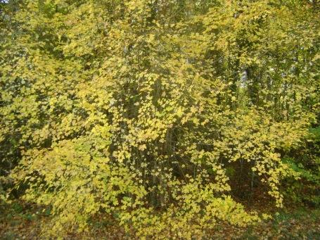 AutumnLeavesYellow