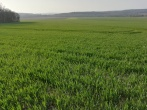 Spring wheat in Essoyes. Photo by Janet Hulstrand.